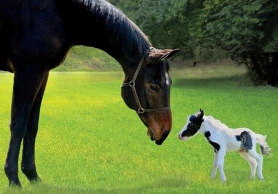 самая маленькая лошадь
