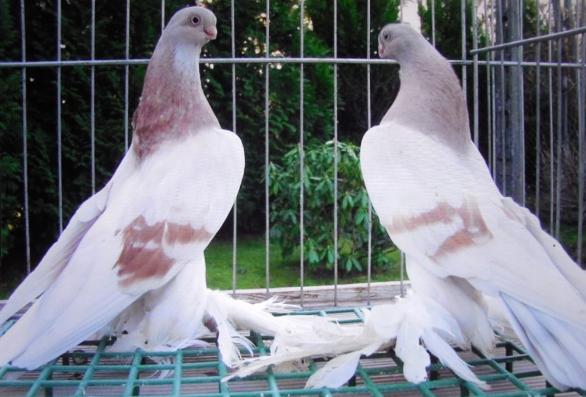 Соревнование голубей-турманов