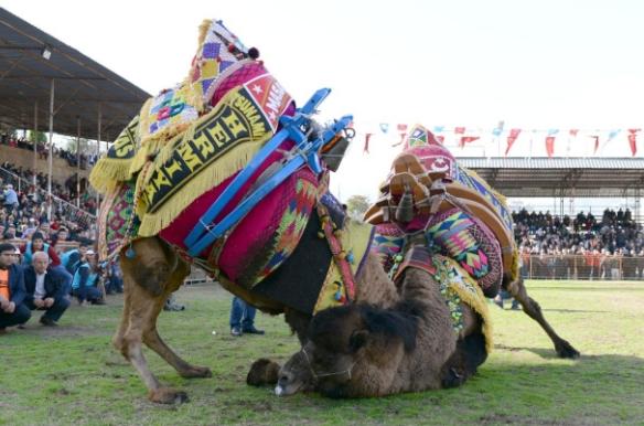 Верблюжья борьба