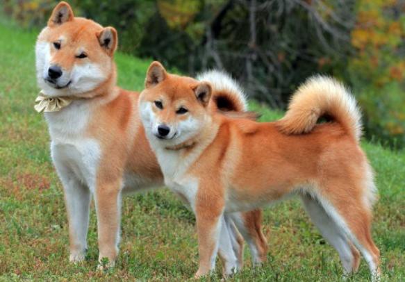 самая дорогая порода собак Акита-ину