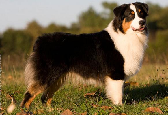 самая дорогая порода собак Австралийская овчарка