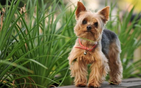 самая дорогая порода собак Йоркширский терьер