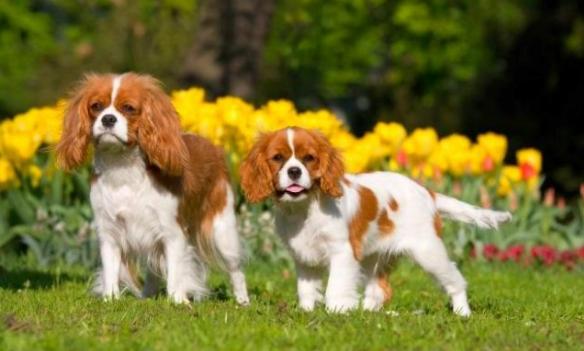 самая дорогая порода собак Кавалер спаниель