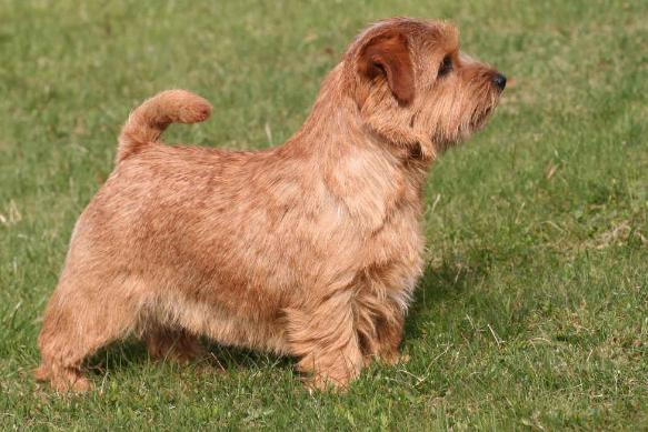 самая дорогая порода собак Норфолкский терьер