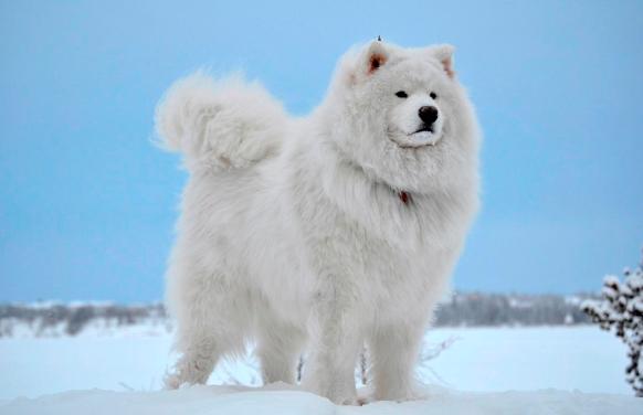 самая дорогая порода собак Самоед