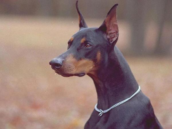 Самые опасные собаки доберман