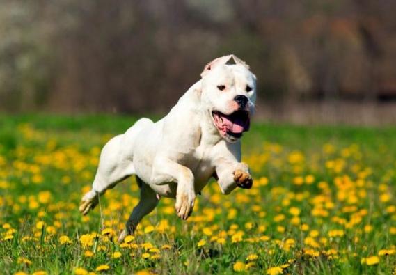 самые опасные собаки аргентинский дог