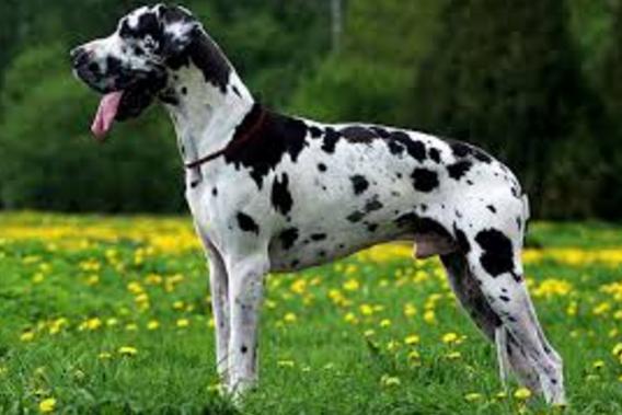 самые опасные собаки далматский дог