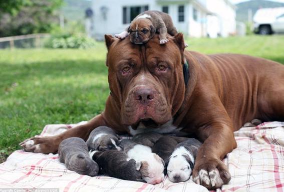 самые опасные собаки питбуль