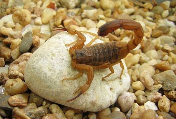 полезные яды яд желтого скорпиона
