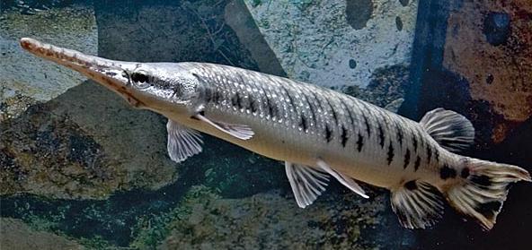 Рыба-мутант или аллигатор?
