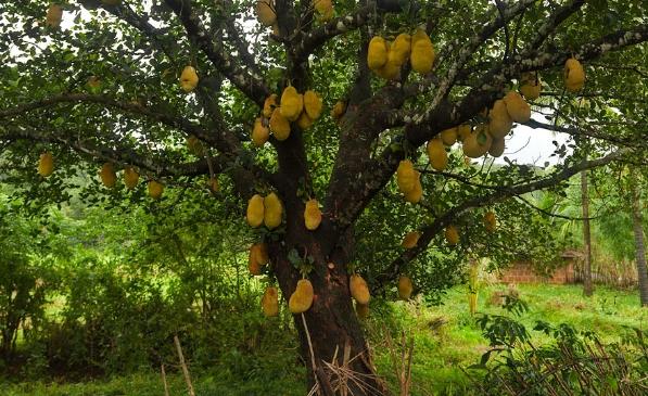 дерево саподилья
