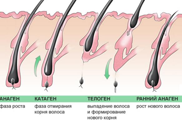 Интересные факты о волосах структура волос
