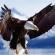 Что вы знаете об орлах?