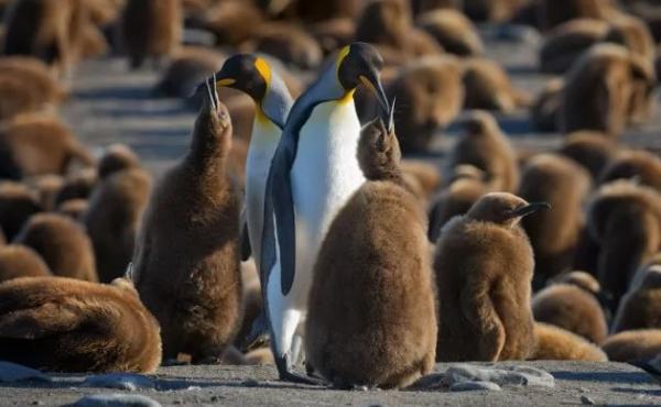 королевские пингвины с птенцами