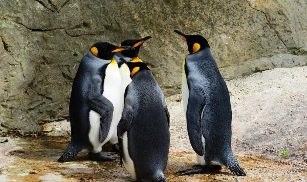особенности пингвинов