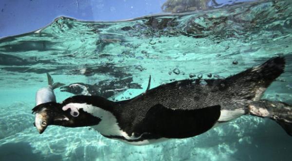 питание пингвинов
