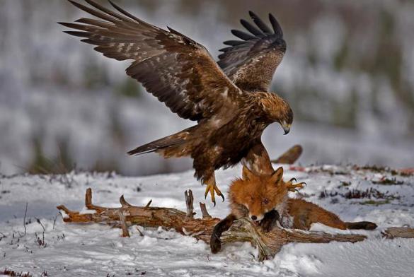 Орел хищная птица