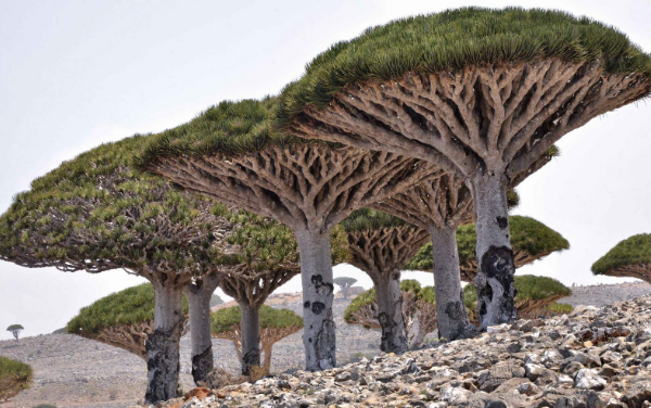 деревья на сокотре