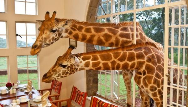 что едят жирафы