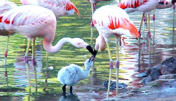 фламинго с птенцом