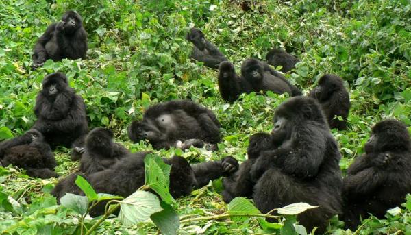 гнездо горилл