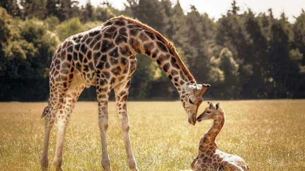 Малыш жираф