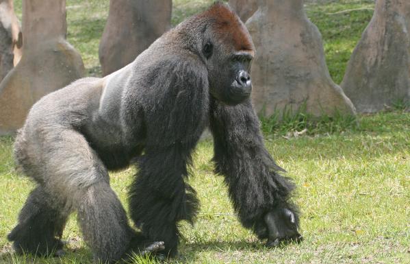 Разновидности горилл
