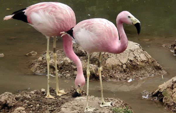 виды фламинго