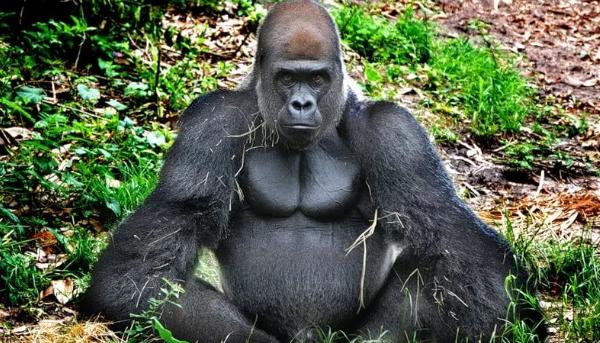 Западная горилла