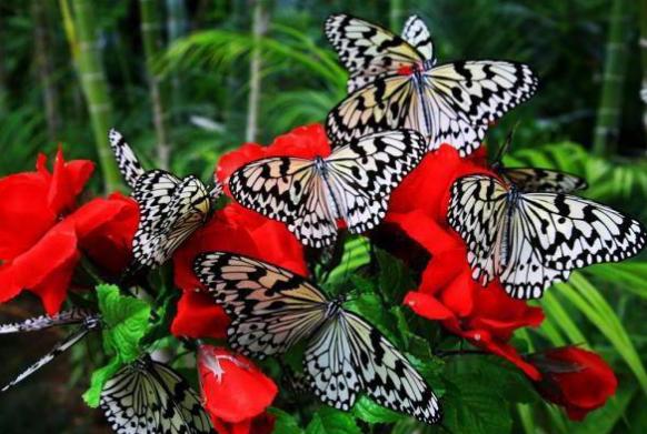бабочки факты
