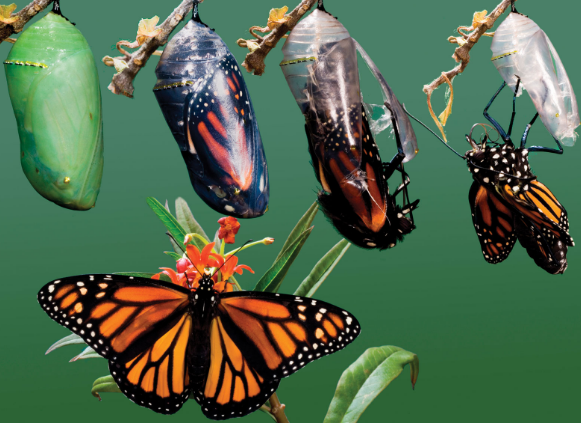 бабочки жизненный цикл