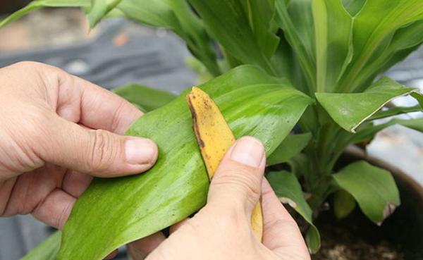 банановая кожура применение