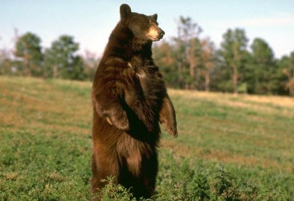 бурый медведь места обитания