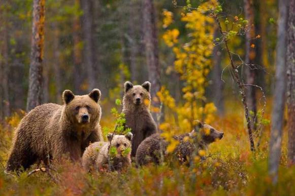 бурый медведь размножение