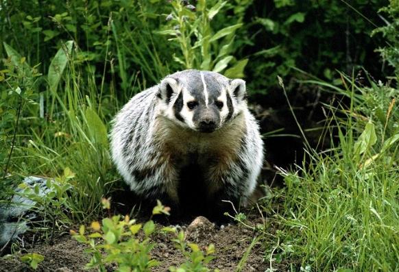 интересные факты о барсуках среда обитания