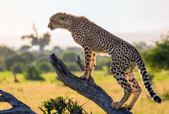 Места обитания гепарда