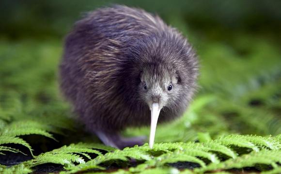 Новая Зеландия птица киви