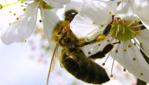пчелиное опыление