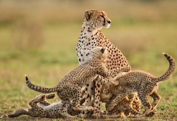 Размножение гепарда