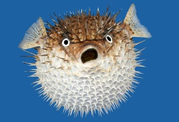 рифовые рыбы рыба-ёж