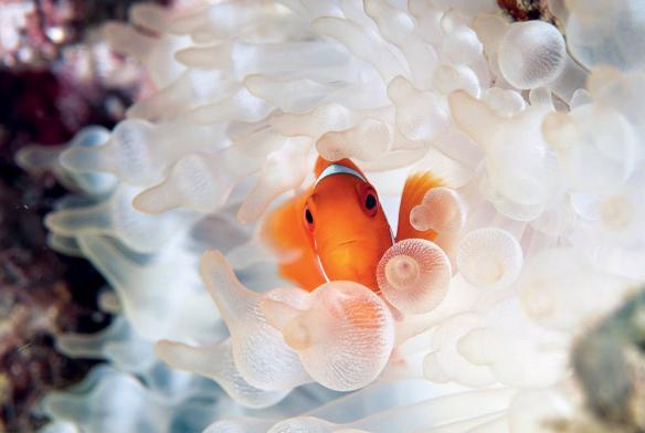 Рыба-клоун фото