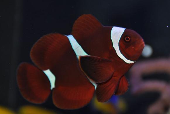 Рыба-клоун места обитания