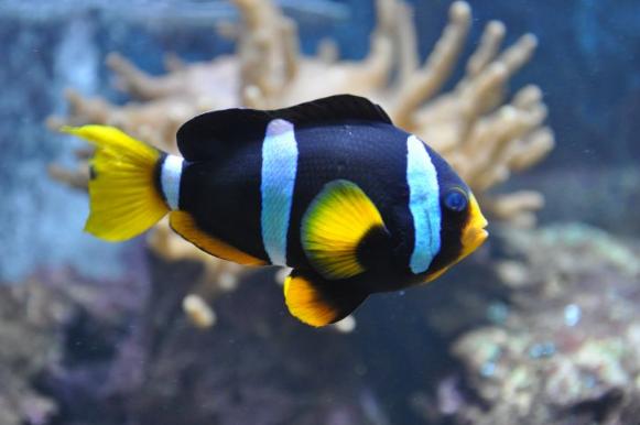 Рыба-клоун вид сбоку