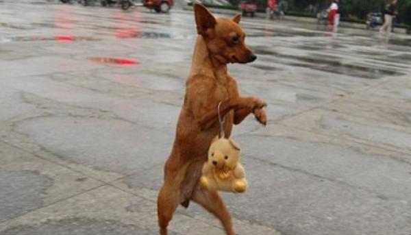 Собака дива