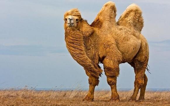 верблюд бактрианы и дромадеры