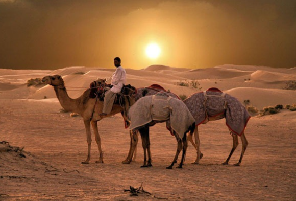 верблюд домашнее животное