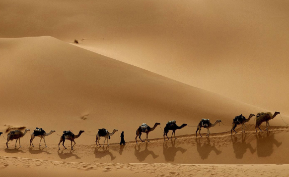 верблюд интересные факты