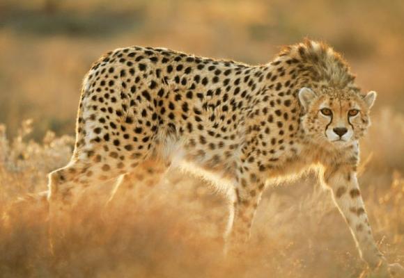 Внешний вид гепарда