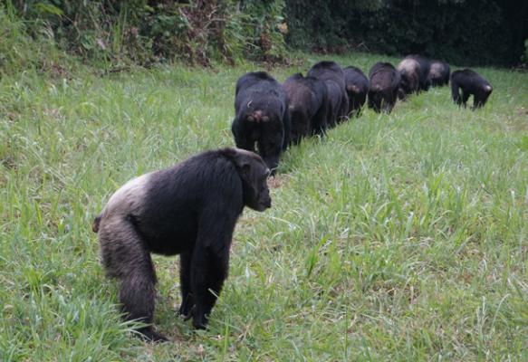 внешний вид шимпанзе